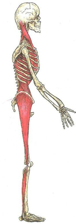 chaîne musculaire latérale du pied aux hanches au dos au crâne