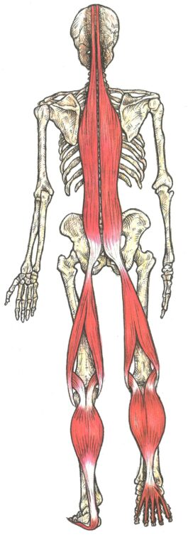 chaines musculaires postérieures du pied au crâne